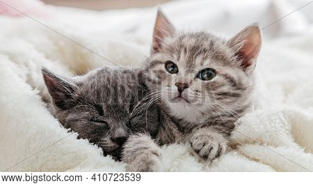 Cute Funny Kittens. Cat Faces Peek Out From Under Blanket. Couple Family Of Cats Portrait On White B