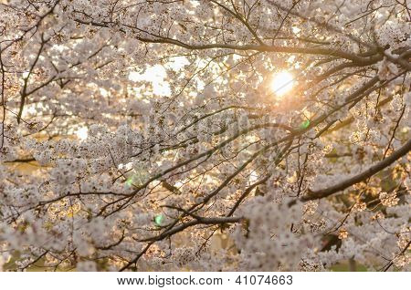 Sunset And Cherry Blossoms