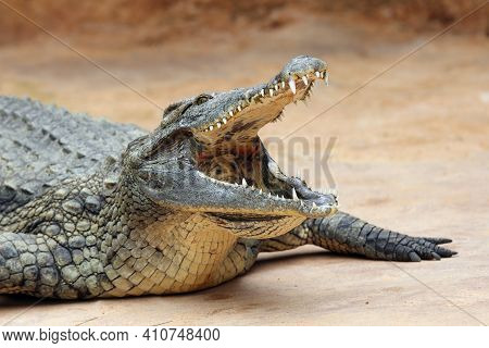 The Nile Crocodile (crocodylus Niloticus) With Open Jaws With Yellow Background. Huge Open Jaws With