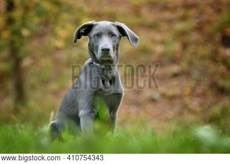 Weimaraner Puppy Sitting On Green Meadow In Grass