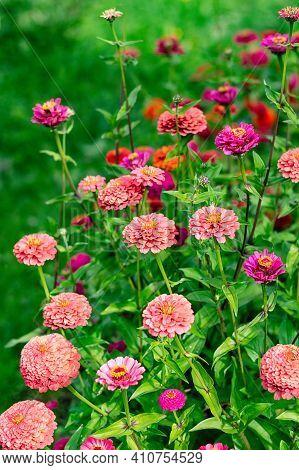 Blooming Multicolored Zinnia Flowers In The Garden. Vertical Crop. Selective Focus.