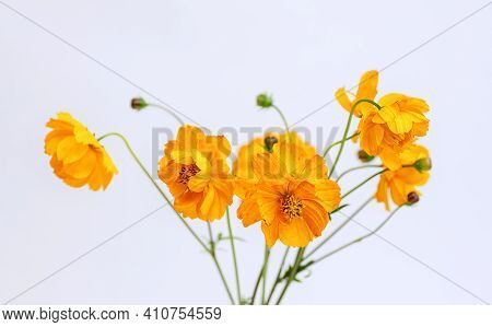 Fresh Summer Bouquet Of Orange Cosmos Flowers On White Background. Floral Home Decor. Selective Focu