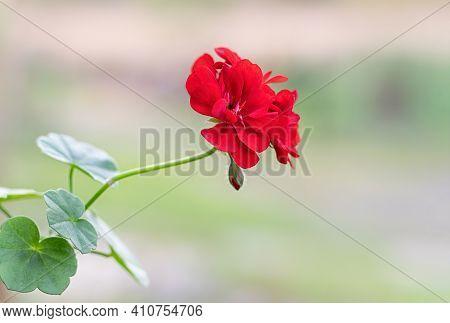 Red Geranium Flowers In Summer Garden. Red Pelargonium Close-up. Blooming Indoor Plants.