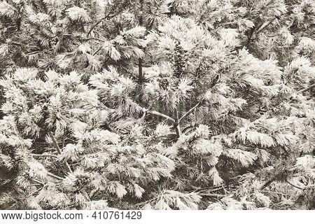 Snowy Pine Tree Detail. Winter Time. Idyllic Nature Background. Postcard