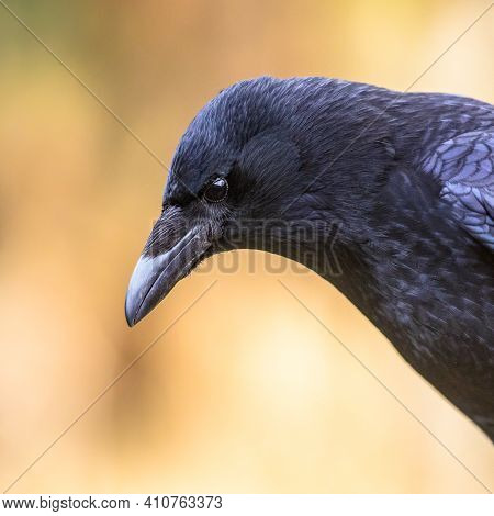 Carrion Crow (corvus Corone) Black Bird Portrait Of Head And Looking At Camera. Wildlife In Nature.