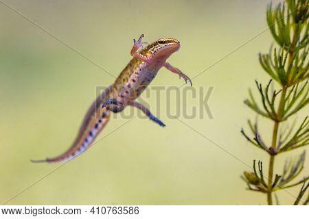 Palmate Newt (lissotriton Helveticus) Colorful Aquatic Amphibian Male Swimming In Freshwater Habitat