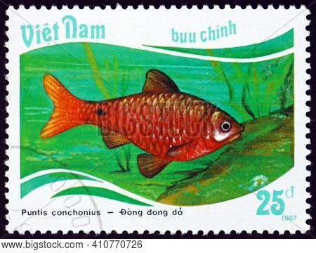 Vietnam - Circa 1988: A Stamp Printed In Vietnam Shows Rosy Barb, Puntis Conchonius, Is A Species Of