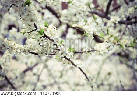 Spring Cherry Blossom Brunches With Flowers And Leaves