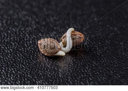 Medical Cannabis Seeds On The Black Background In Drop Of Water - Thc Cbd, Germination Of Cannabis S