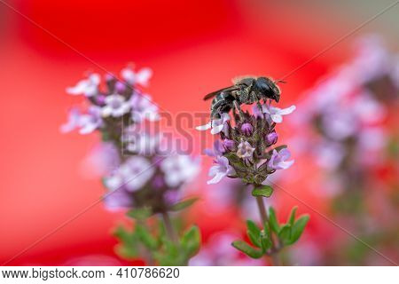 Black Bee On A Erysimum Bowles Mauve Perennial Wallflower