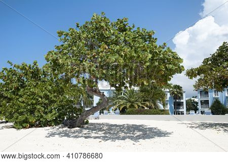 The Leaning Tree On Grand Cayman Island Seven Mile Beach (cayman Islands).