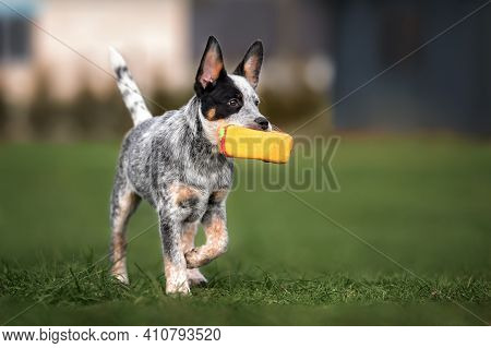 Australian Cattle Dog Puppy Fetching A Toy, Playing Outdoors