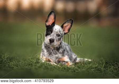 Adorable Australian Cattle Dog Puppy Lying Down On Grass Outdoors