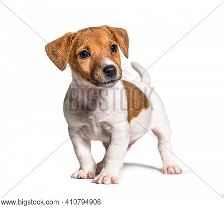 Puppy Jack russel terrier dog, two months old, isolated on white