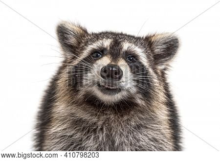 head shot of a young Racoon facing at the camera, isolated
