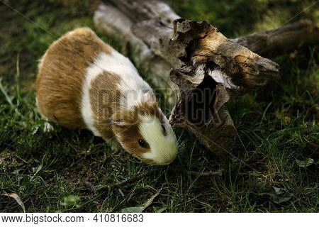 Close-up Of White-brown Domestic Guinea Pig Cavy In The Summer Garden. Lively Nature Of Countryside.