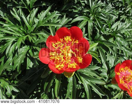 Red Peony In The Flowerbed In The Garden, Paeonia