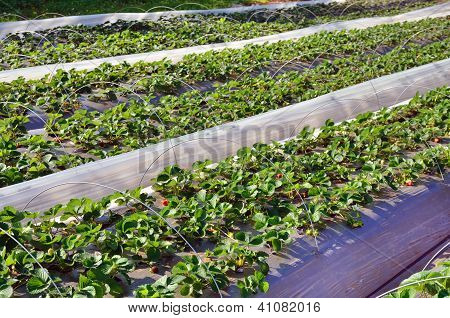 Rows Of Seedling Of Strawberry
