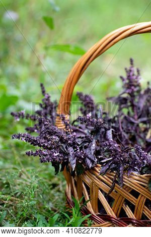 Basil Branches Lie In The Wicker Basket