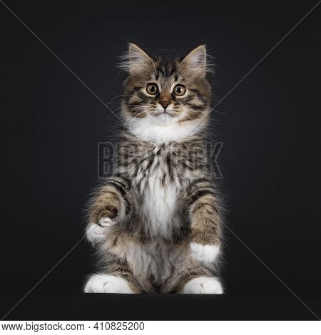 Adorable Black Tabby With White Siberian Cat Kitten, Sitting Up Like Meerkat Or Teddy Bear On Hind P
