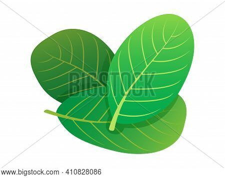 Guava Leaves Isolated On White, Clip Art Guava Leaf