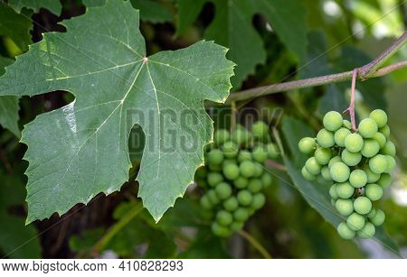 Clusters Of Unripe Grapes With Leaves On A Natural Blurred Background.