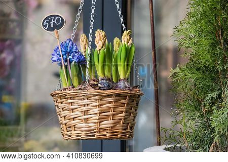 Flowers For Sale At Flower Market. Bulbous Perennial Flowers For The Garden. Early Spring Bulbs And