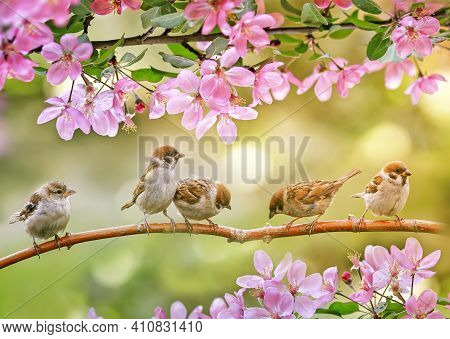 Little Funny Chicks Sparrows Sit In Spring Sunshine On The Branches Of An Apple Tree With Pink Flowe