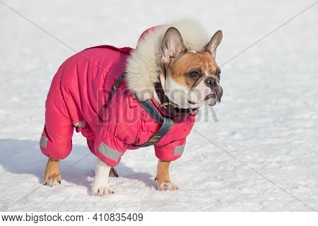 Cute French Bulldog In Beautiful Pet Clothing Is Standing On A White Snow In The Winter Park. Pet An