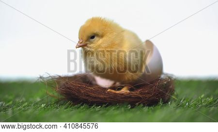 Yellow Chick Sitting In Nest With Eggshell Isolated On White