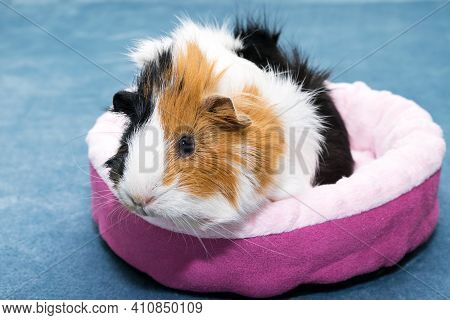 Guinea Pig. A Young Funny Guinea Pig Lies In A Pink Crib, A Pink Hammock