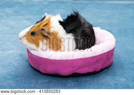 Guinea Pig. A Young Funny Guinea Pig Lies In A Pink Crib, A Pink Hammock.