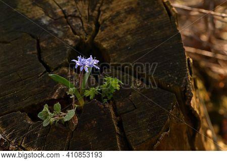 Blue Snowdrop, Scilla Bifolia In Spring Forest