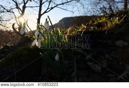 First Spring Flowers, Snowdrops In Forest, Against Sunset