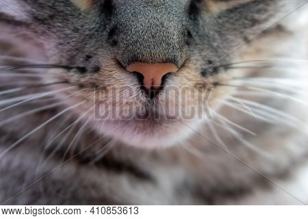 Portrait Of A Gray Cat. Cat Whiskers And Nose. Cute Pet. Cats Face