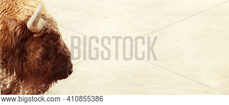 Bison Bonasus - European Bison Portrait Head Close Up - Isolated On White In Banner Format, Space Fo