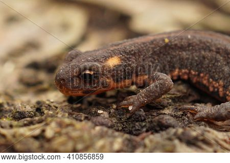 Closeup Of A Young Terrestrial Northern Banded Newt , Ommatotriton Ophryticus On Wood