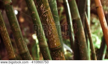 Vandalized Bamboo Tree Trunk Detail. Bamboo Tree Background.