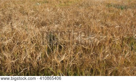 Ripe Barley Ears, Full Frame. Harvest Cereals, Background. Backdrop Of Ripening Ears Of Yellow Cerea