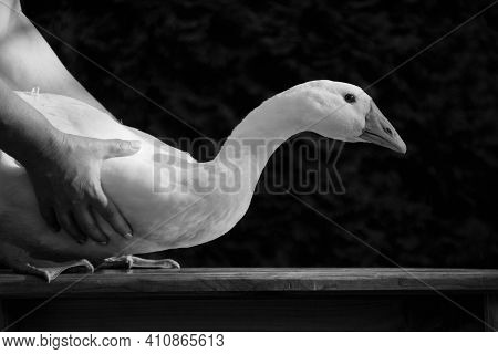 Black-and-white Monochrome Photo Of A Bird Goose, Which Is Put On A Bench, Holding A Man, Horizontal