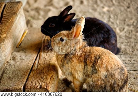 View Of Pair Domestic Pygmy Rabbits. Photography Of Lively Nature And Wildlife.