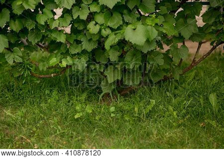 Clusters Of Unripe Grapes With Leaves On A Natural Background. A Bunch Of Unripe Green Grapes On A G