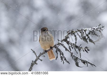 Beautiful And Cute Bird, Siberian Jay, Perisoreus Infaustus, Sitting On An Old Branch On Snowy Winte