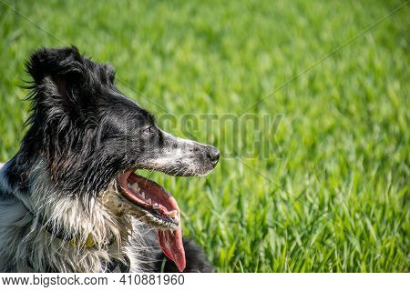 Close-up Of A Black And White Border Collie In The Meadow