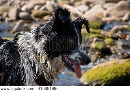 Close-up Of A Black And White Border Collie Looking At The River