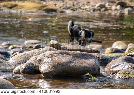 Black And White Border Collie With A Stick In The River