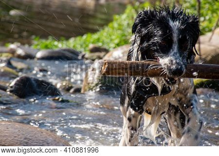 Black And White Border Collie Pulling A Stick From The River