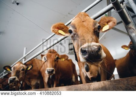 Portrait Cows Red Jersey With Automatic Collar Stand In Stall Eating Hay. Dairy Farm Livestock Indus