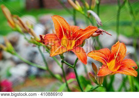 Wild orange lily flower in green meadow