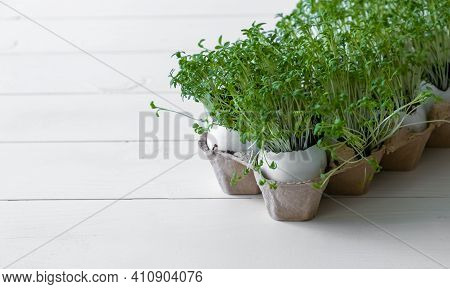 Egg Shell Cress. Growing Microgreens. Micro Green On White Wooden Background